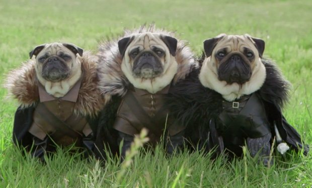 Pugs_reenact_Game_of_Thrones - MalaTinta Magazine Pug Game Of Thrones